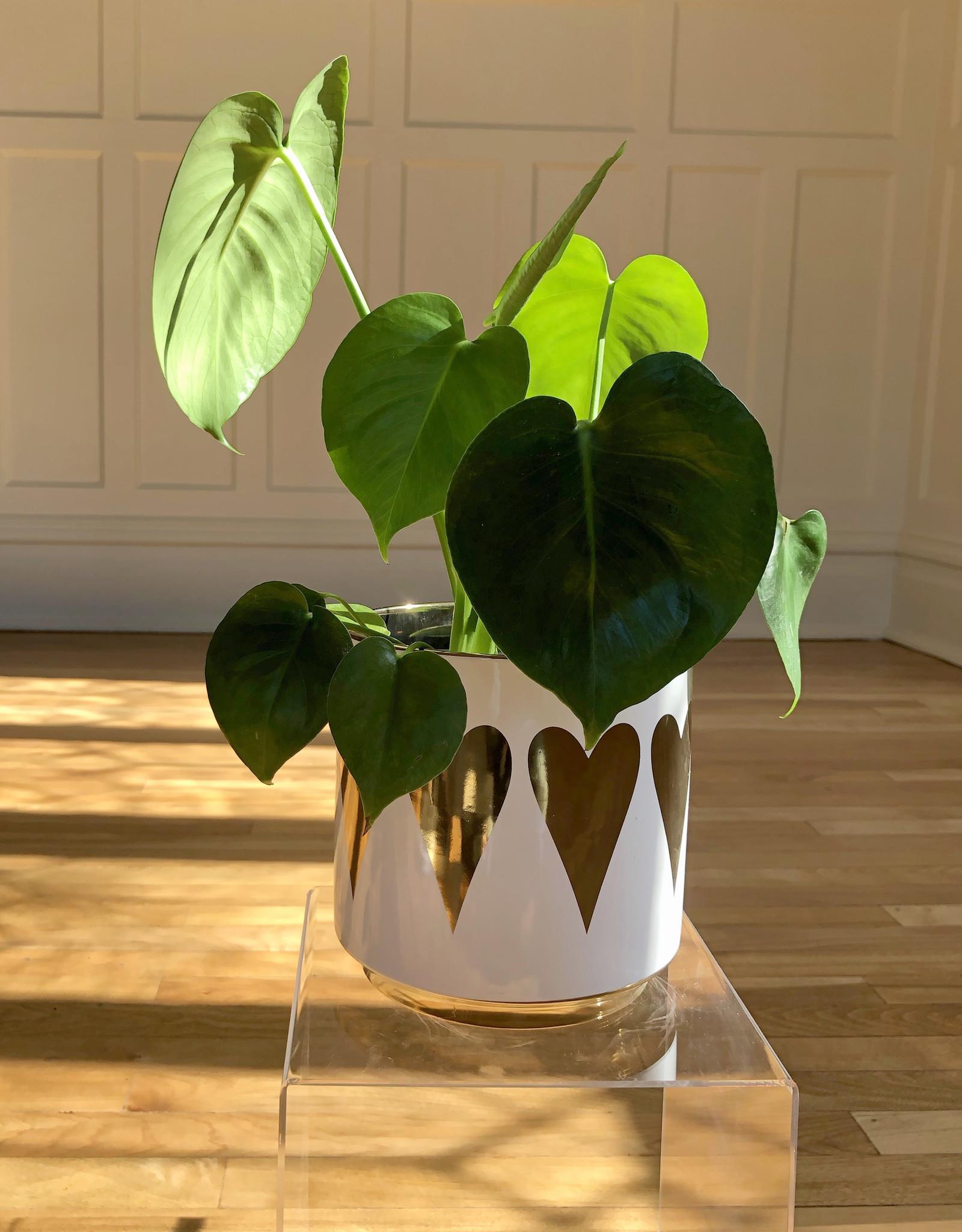 Curio Philodendron 'Monstera deliciosa'in Gold Heart Pot