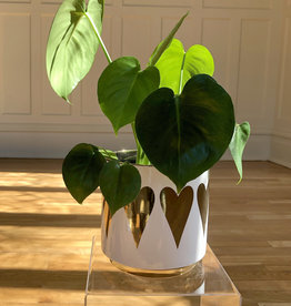 Curio Monstera  in Gold Heart Pot