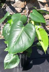 Curio Araceae Philodendron Monstera deliciosa