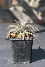 """Curio Bromeliad Dyckia 'Tarzan', 5"""" pot"""