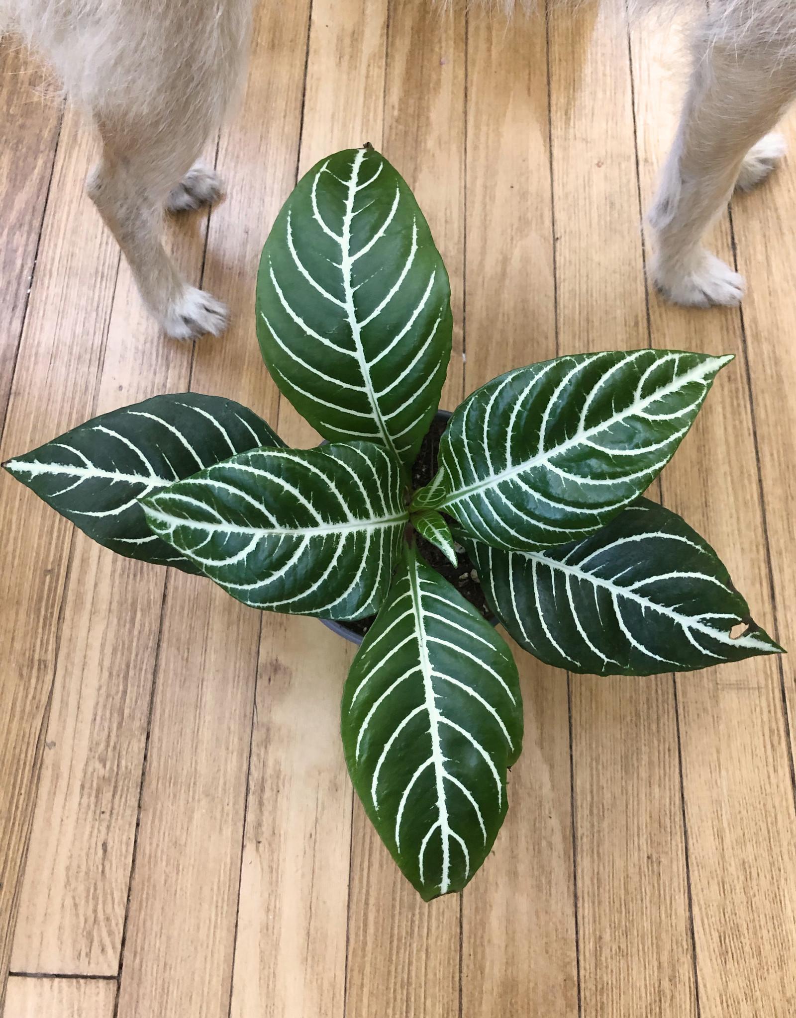 Curio Acanthaceae squarrosa 'Zebra Plant'