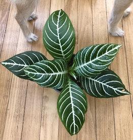 Curio 'Zebra Plant'