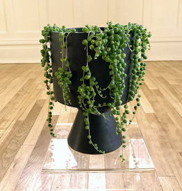 Curio String of Pearls in Black Architectural Pot