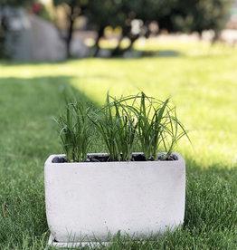 Curio Ponytail Palms in polished concrete pot
