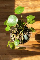 Curio Pilea peperomioides in Glass Pot with tumbled stones