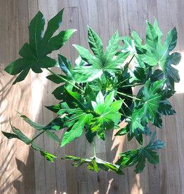 Curio Fatsia F.  japonica Japanese Aralia