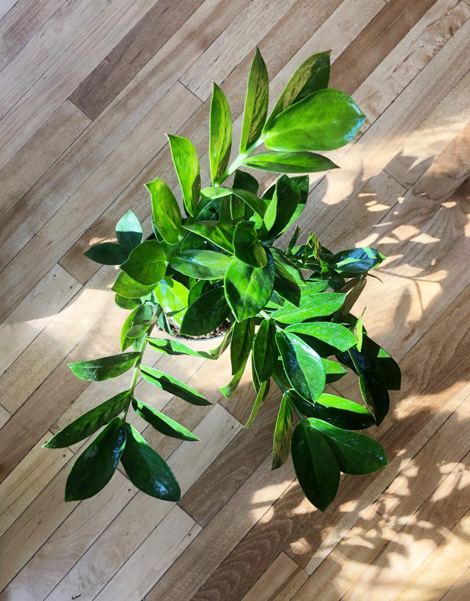 Curio Zamioculcas zamiifolia, 'ZZ Plant'