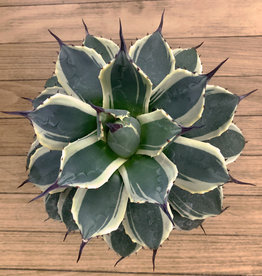 Curio Mature Agave 'Cream Spike'