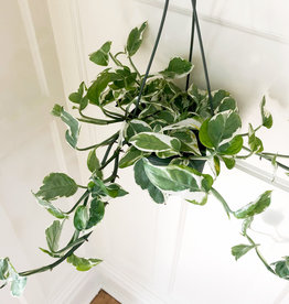 Curio 'Pearls and Jade' Pothos