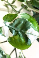 Curio Epipremnum aureum 'Pearls and Jade' Pothos