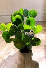 Curio Pilea peperomioides 'Chinese Money Plant'