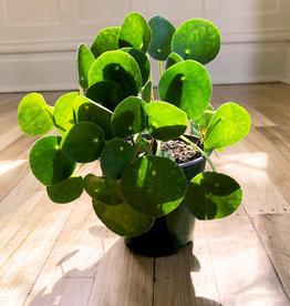 Curio Pilea peperomioides