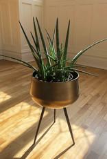Curio Sansevieria cylindrica 'Cylindrical Snake Plant'