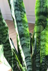 Curio Sansevieria Black Coral 'Snake Plant'