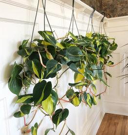 Curio Philodendron Brasil