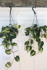 "Curio Araceae Philodendron Hederaceum Brasil Hanging 6"""