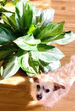 Curio Aglaonema Silver Bay Chinese Evergreen