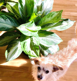 Curio Silver Bay Chinese Evergreen