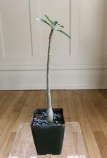 Curio Adenium obesum cv 'Grumbley's White',  Desert Rose