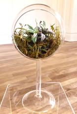 Curio Glass Orb with Kokedama Cryptanthus Earth Stars