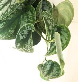 Curio Scindapsus pictus 'satin pothos'