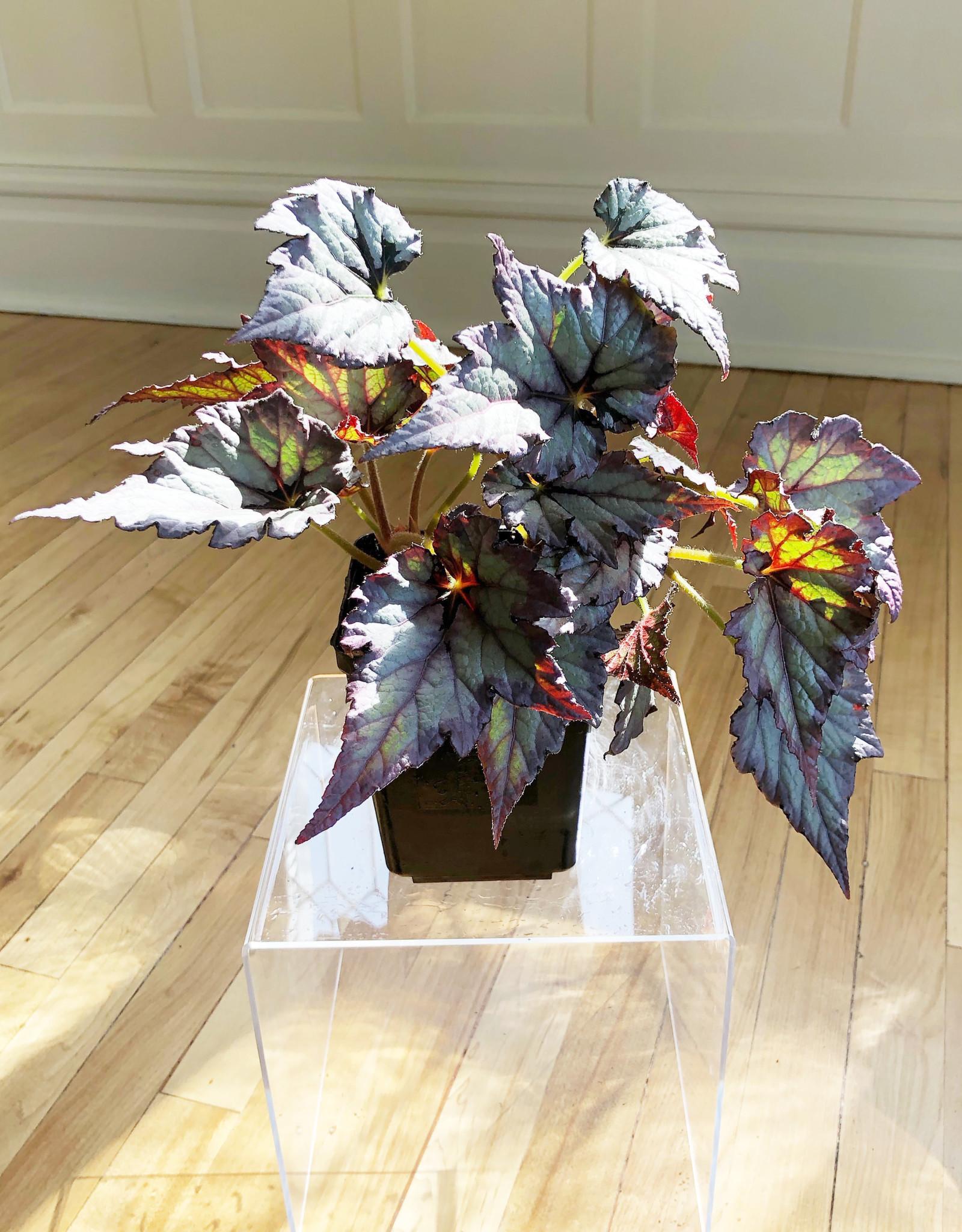 "Curio Begonia Rex 'Blue Silver' 4.5"""