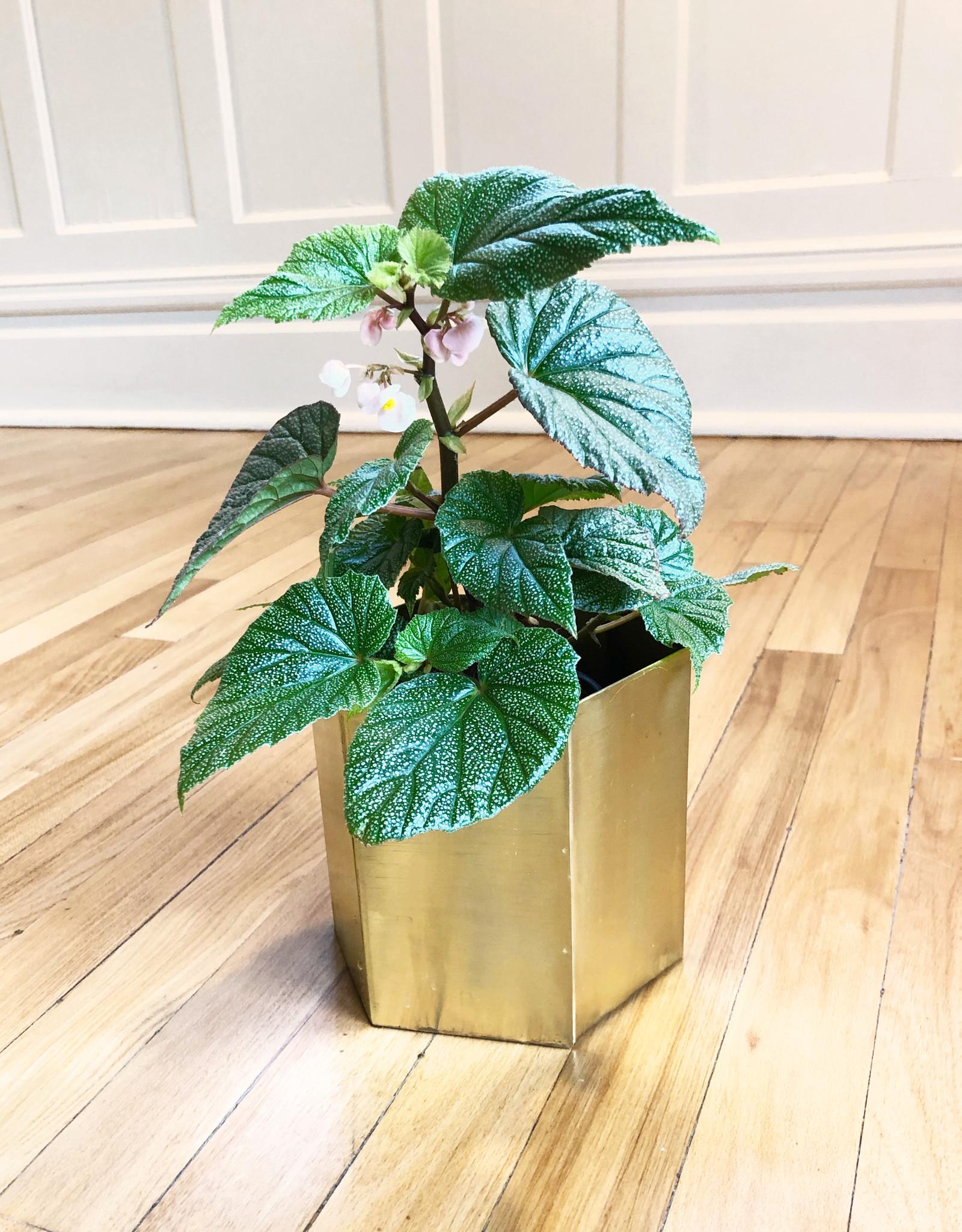 Curio Begonia Angel Wing 'Sinbad'
