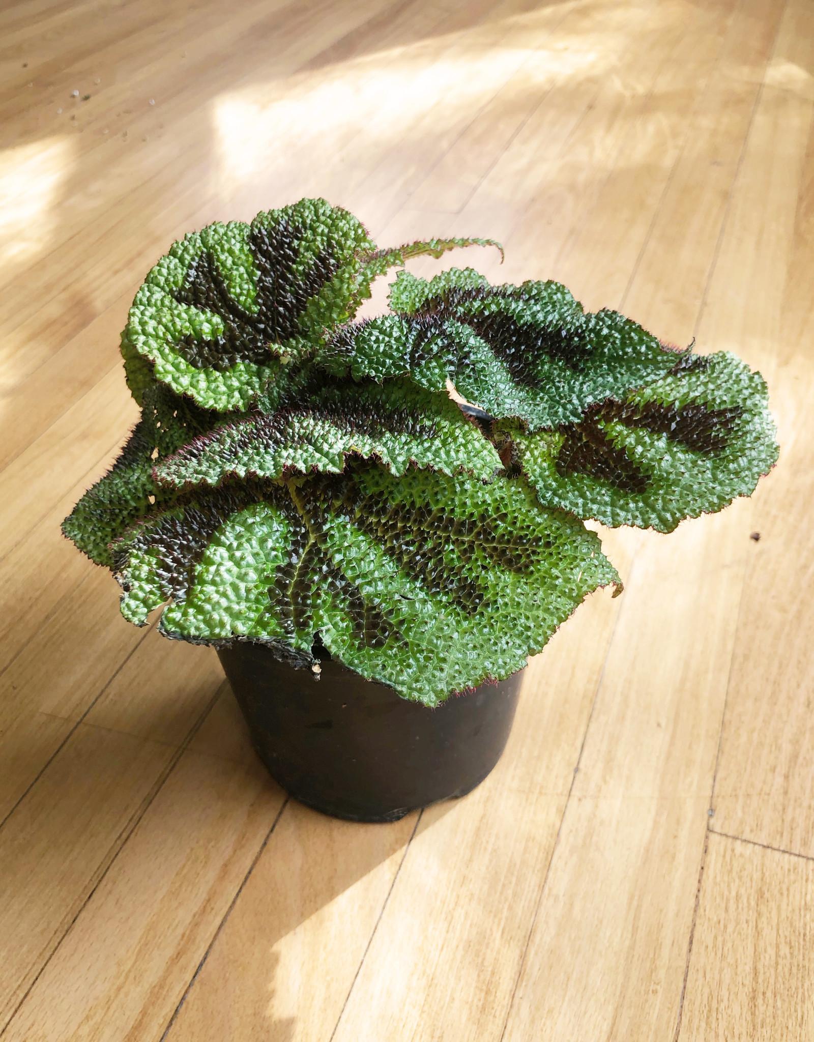 Curio Begonia masoniana 'Iron Cross'