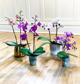 Curio Phalaenopsis 'Moth Orchid'