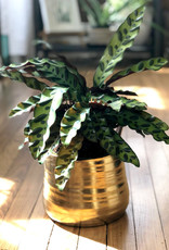 Curio Calathea lancifolia 'Rattlesnake Plant'
