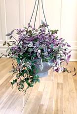 Curio Tradescantia flumenisis 'Lilac Wandering dude' (rare)