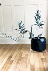 Curio Kalanchoe tomentosa 'Panda Plant' in faceted black pot