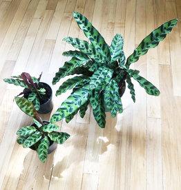 Curio Rattlesnake Plant