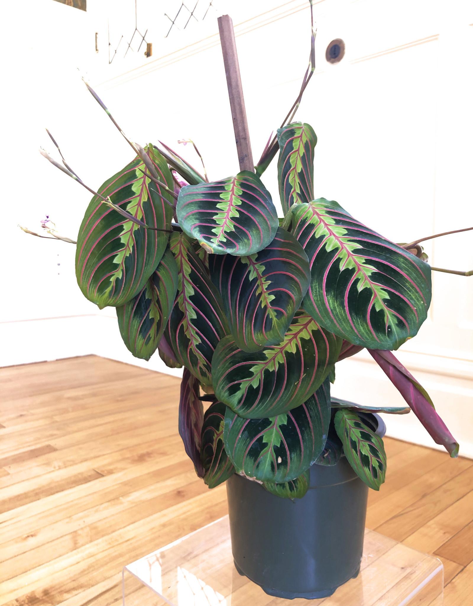 Curio Calathea Maranta leuconeura, 'Prayer plant'