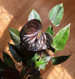 Curio Anthurium Black Beauty