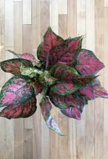 """Curio Red Aglaonema, 6"""" pot"""