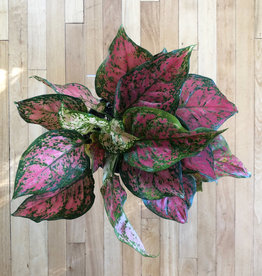 "Curio Red Aglaonema, 6"" pot"