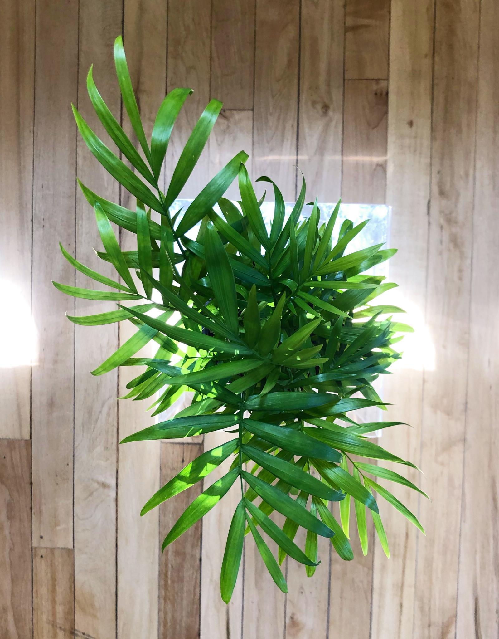 "Curio Mini 'Parlor' Palm, 4"" pot"