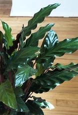 Curio Calathea rufibarba, 'Velvet Calathea'