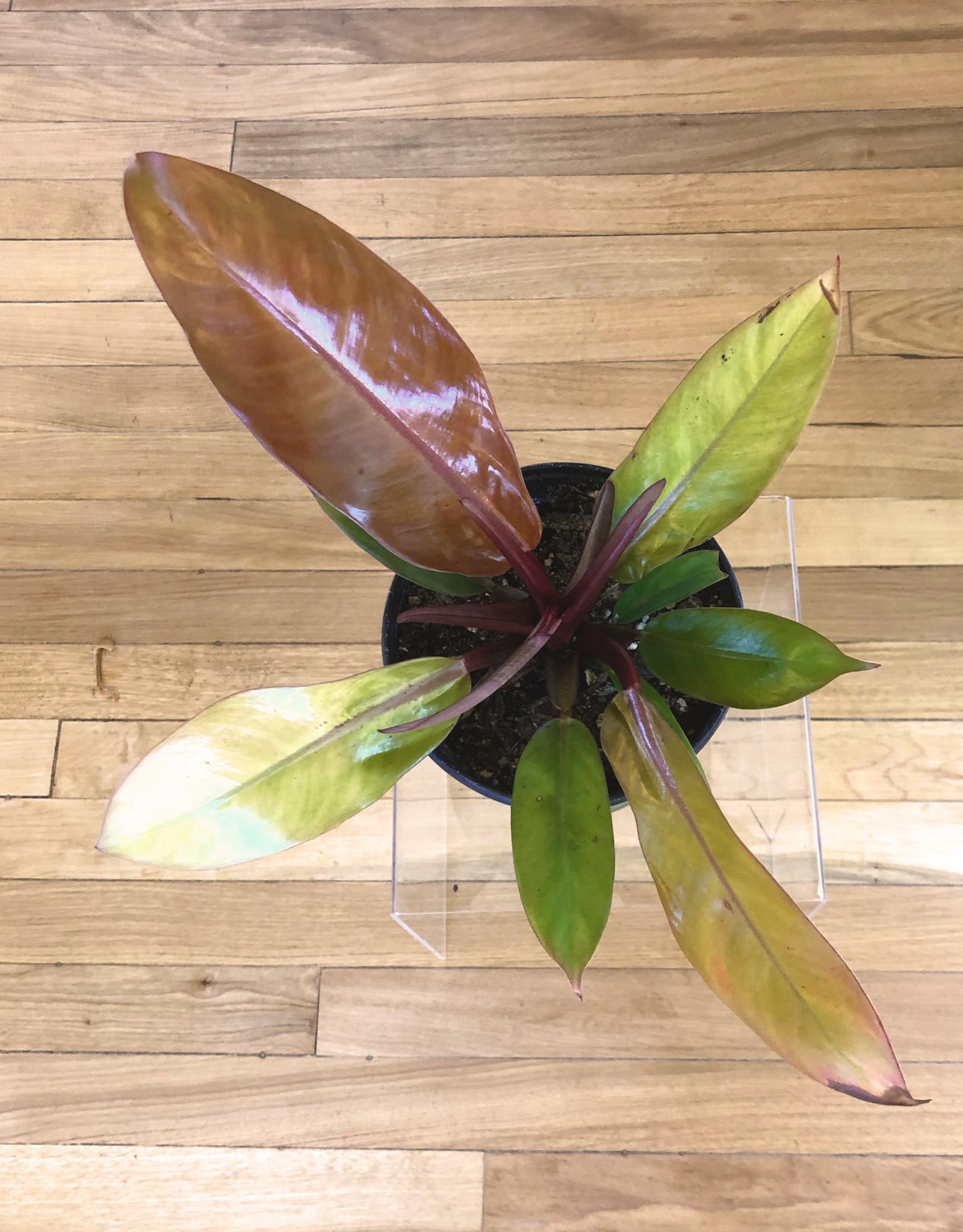 Curio Philodendron 'Prince of Orange'
