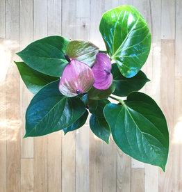 Curio (Pink) Anthurium andraeanum