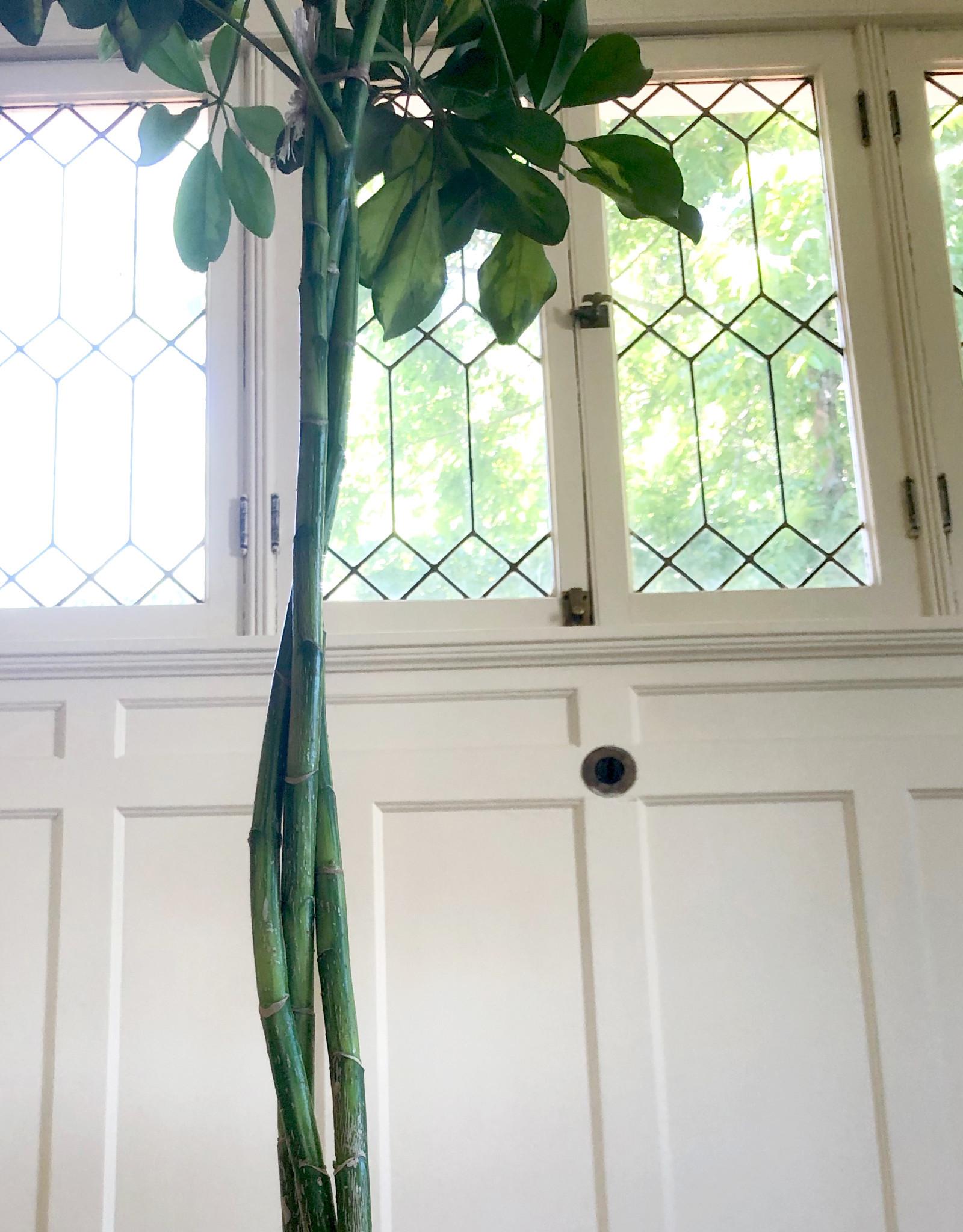 Curio Schefflera Arboricola 'Dwarf Umbrella Tree' Variegated