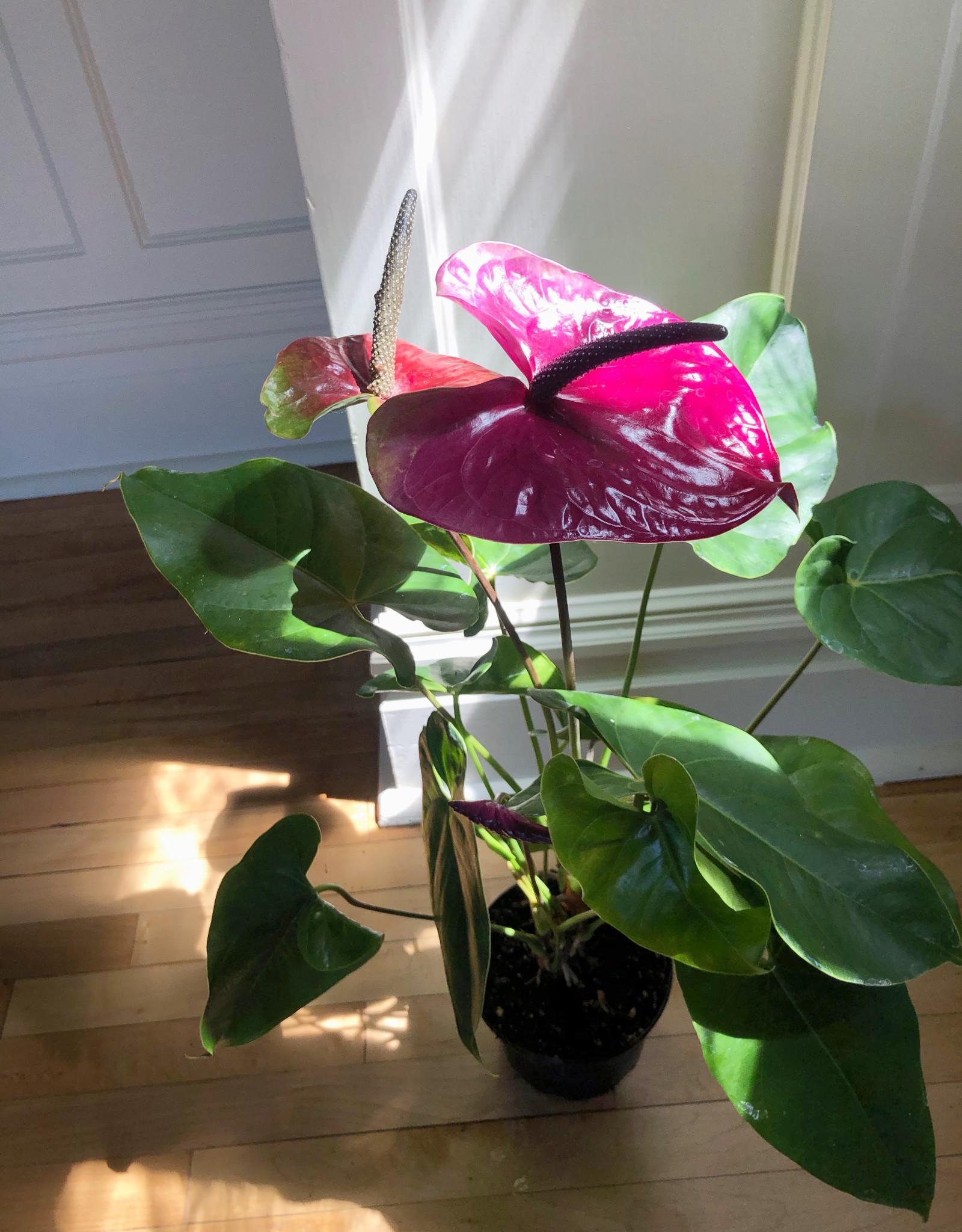 Curio Anthurium andraeanum, mixed color