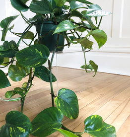 Curio 'Golden Pothos'