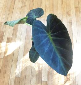 Curio Colocasia 'Black Beauty', Elephant Ear