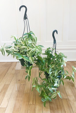 Curio Tradescantia zebrina Green/Yellow, 'Wandering dude'