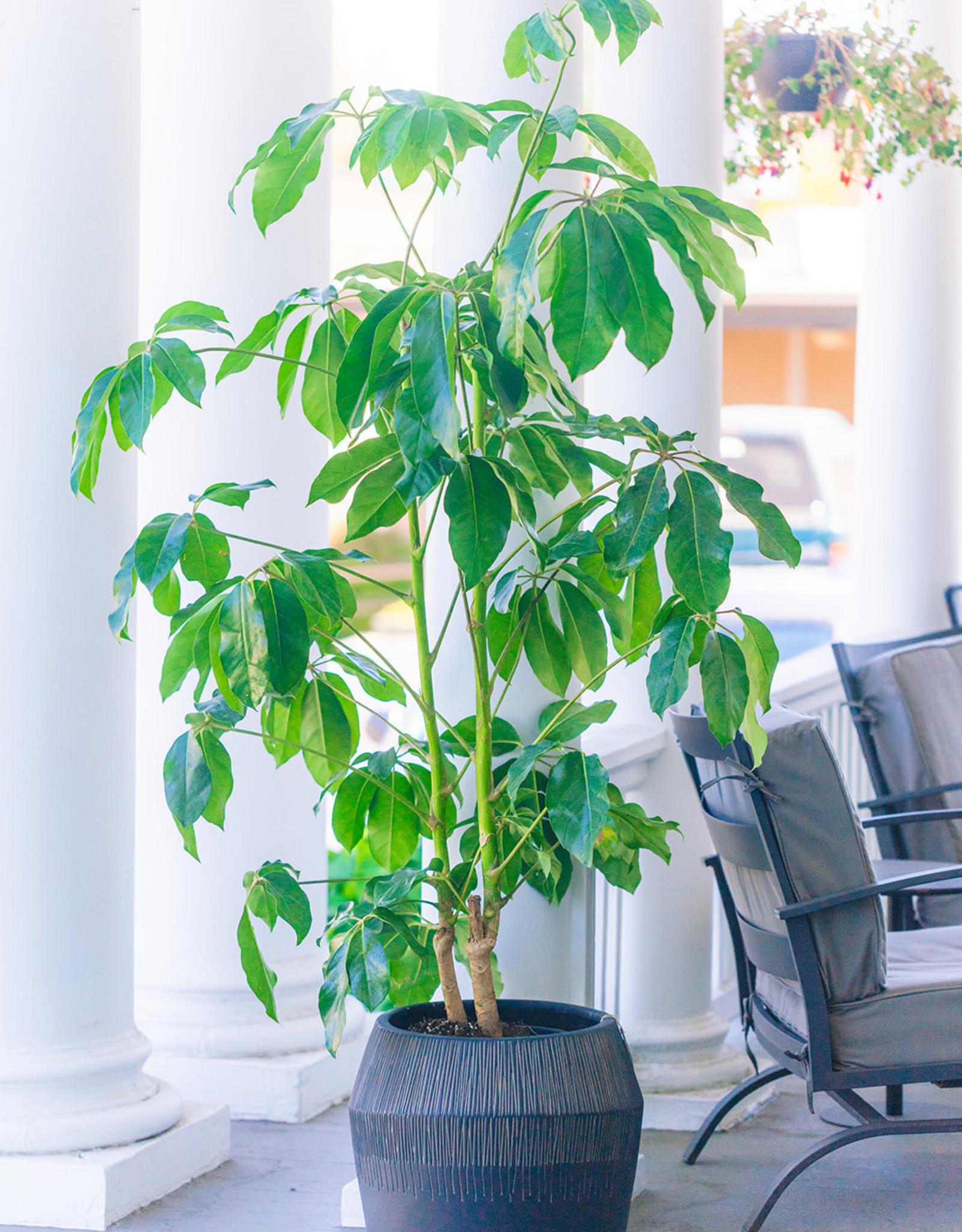 Curio Schefflera actinophylla Queensland Umbrella Tree