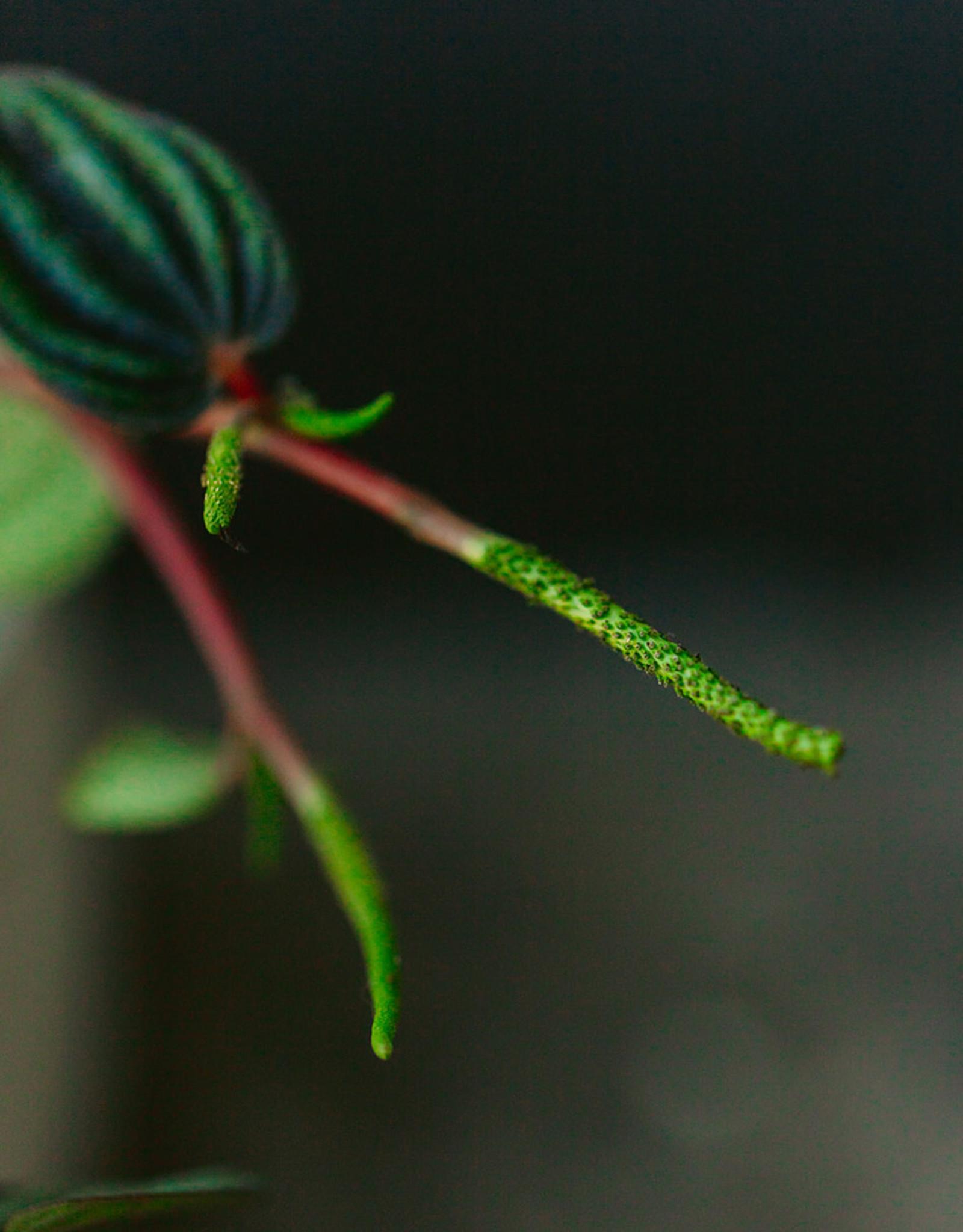 Curio Peperomia 'Piccolo Banda', Peacock Peperomia