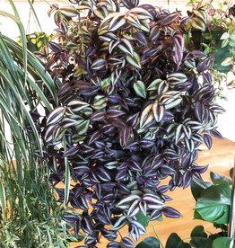 Curio Tradescantia zebrina burgundy