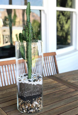 Curio Cylindrical Glass Vessel with Euphorbia flanaganii 'African Milk Plant'